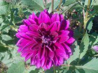 Георгины — роскошь вашего сада