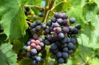 Как правильно выбирать виноградную лозу