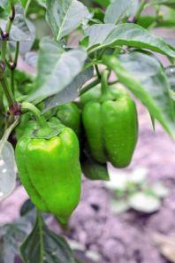 Как выбрать семена сладкого перца, чтобы получить хороший урожай?