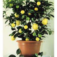 Лимон на подоконнике