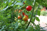 Секреты выращивания рассады томатов