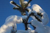 Уход за хвойными деревьями зимой