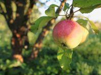 Яблоня,  высаживание и полив