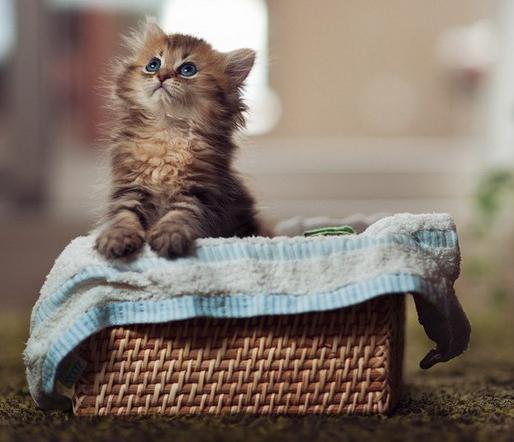 Приобретение котенка