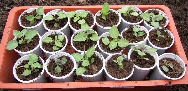 Ранний урожай картофеля с рассады