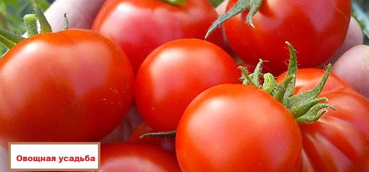 tomato latah